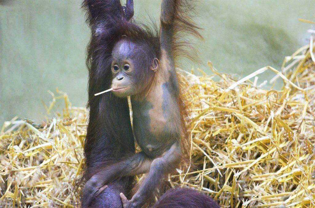Orangutan na wyspie Sumatra